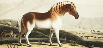 Zebraart Quagga vor ca. 100 Jahren ausgestorben